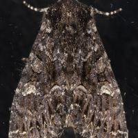 Dark Noctuid
