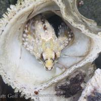 Sculpin (Cottidae)