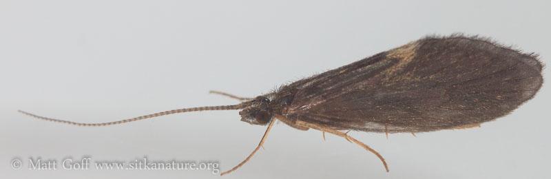 Unidentified Caddisfly (Trichoptera)