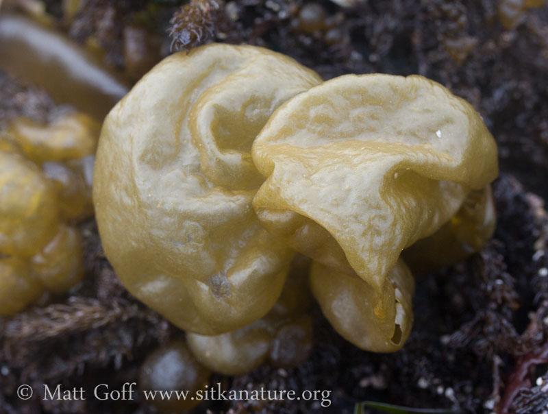 Bulb Seaweed (Colpomenia peregrina)