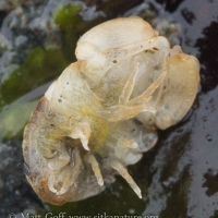 Small Isopod (Exosphaeroma sp)