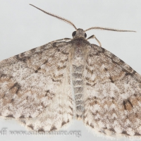 Welsh Wave (Venusia cambrica)