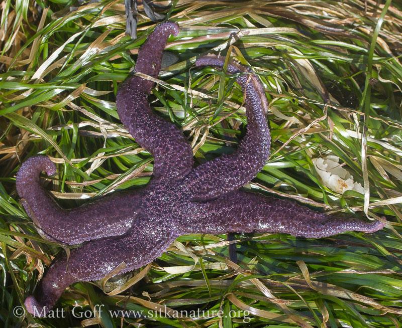 Mottled Star (Evasterias troscheli)