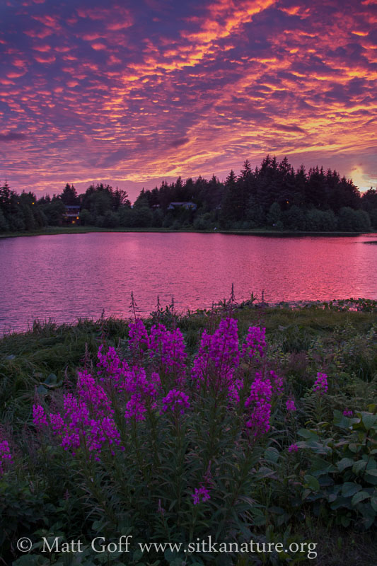 Fireweek and Sunset over Swan Lake