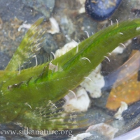Green Sculpin (Cottidae)