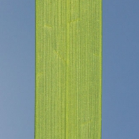 Surfgrass (Phyllospadix serrulatus) Blade