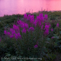 Fireweed at Sunset
