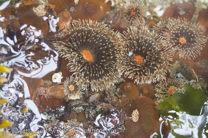 Anemones  (Anthopleura sp)