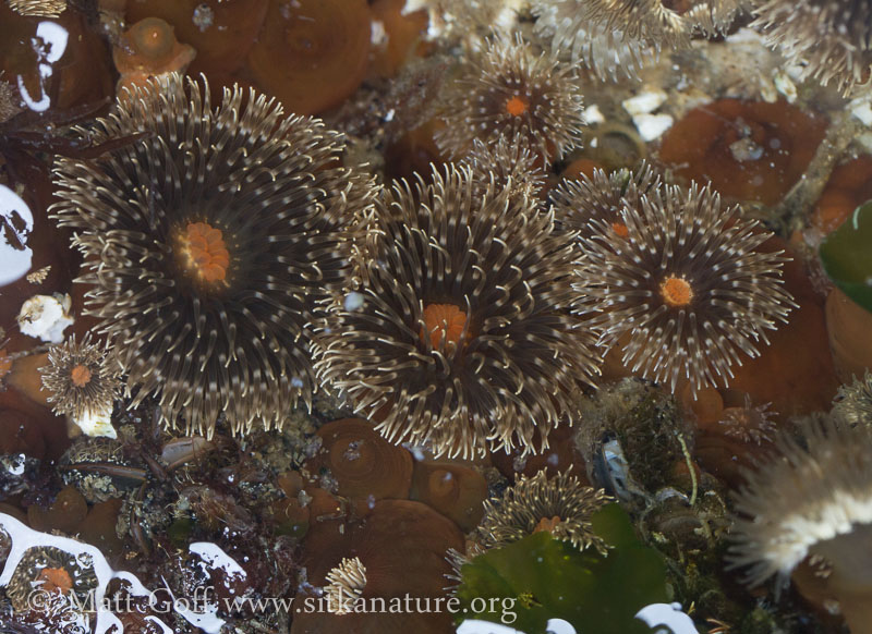 Anemones  (Anthopleura sp)