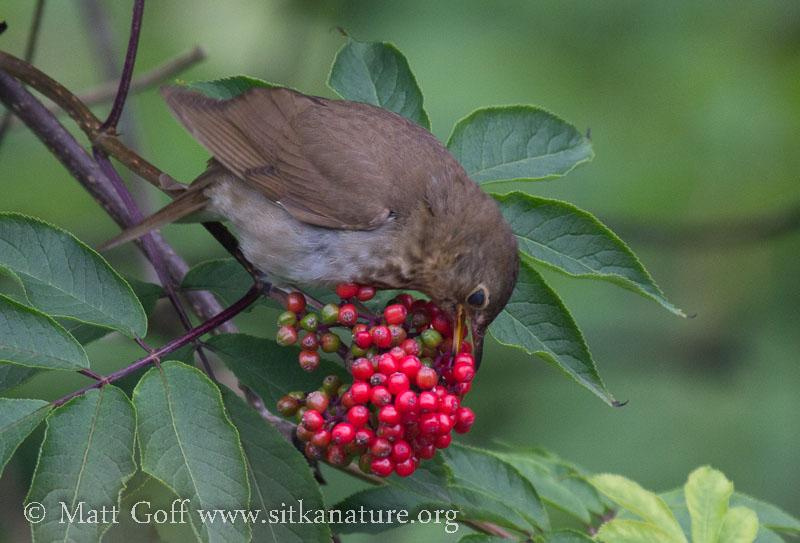 Swainson's Thrush Eating Elderberries (Sambucus racemosa)