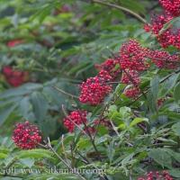 Ripe Elderberries (Sambucus racemosa)