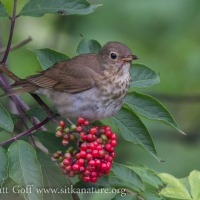 Swainson's Thrush Eating Elderberries (Sambucus racemosa)