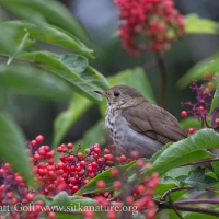 Thrush in an Elderberry Bush