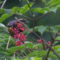 Varied Thrush on Elderberry Bush