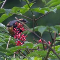 Varied Thrush on Elderberry Bush