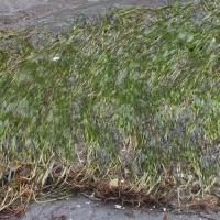 Eelgrass (Zostera marina)
