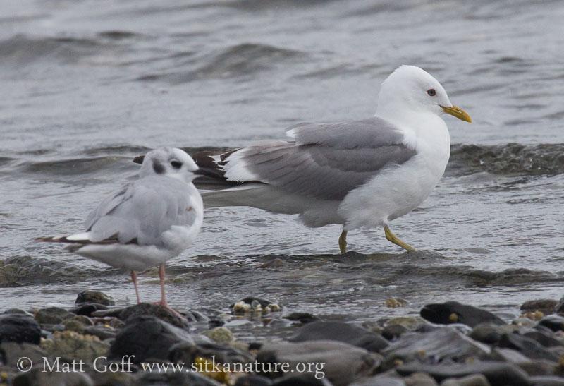 Bonaparte's and Mew Gulls