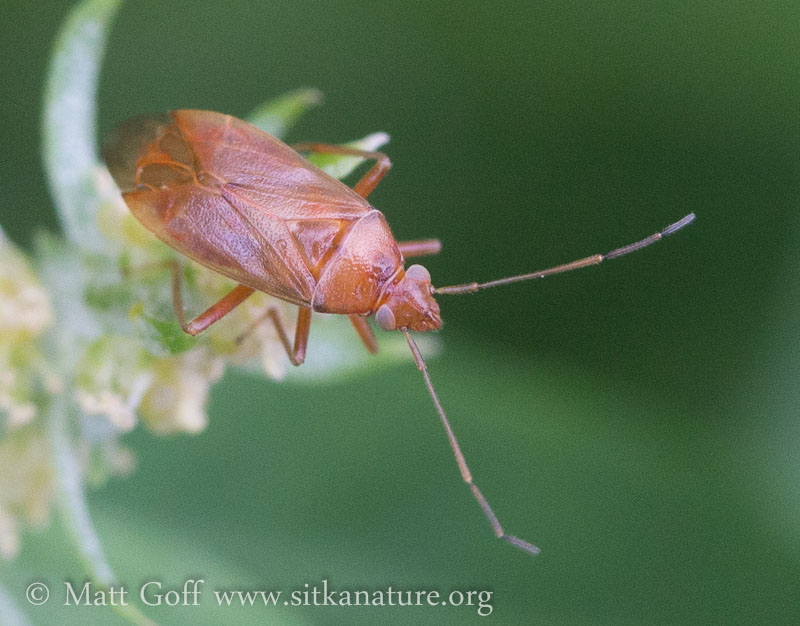 Orange Bug (Hemiptera)