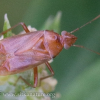 Orange Bug (Hemiptera)