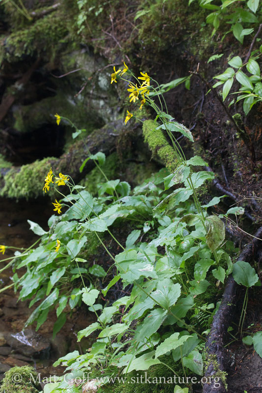 Clasping Arnica (Arnica lanceolata)