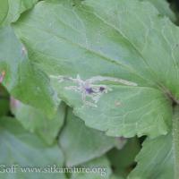 Clasping Arnica (Arnica lanceolata) Leaf Mines