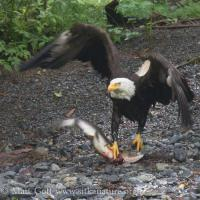 Bald Eagle with Pink Salmon