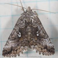 Western Conifer Looper (Syngrapha celsa) - unconfirmed