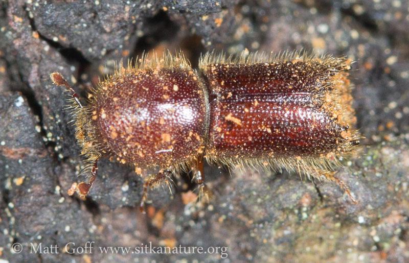 Boring Beetle (Ipina)