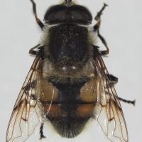 Eristalis anthophorina