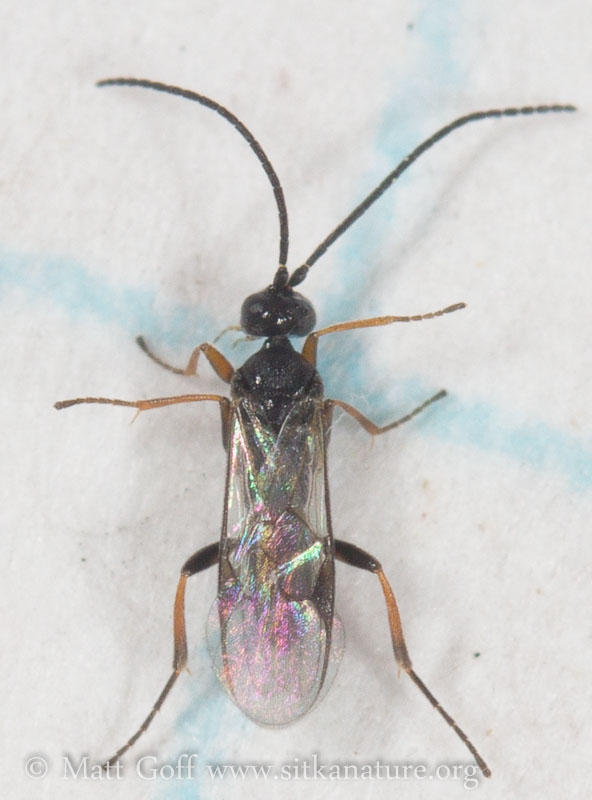 Small Wasp (Microgastrinae)