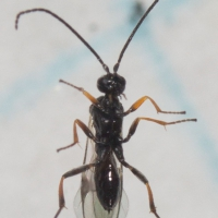 Small Wasp (Microgastrinae)