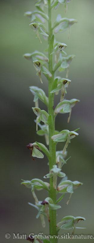 Slender Bog-orchid (Platanthera stricta)
