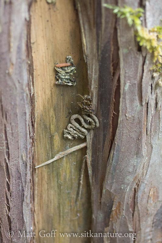 Scat on Cedar