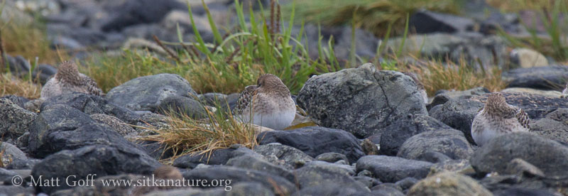 Resting Baird's Sandpipers