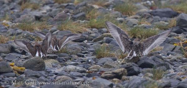 Baird's Sandpipers Landing