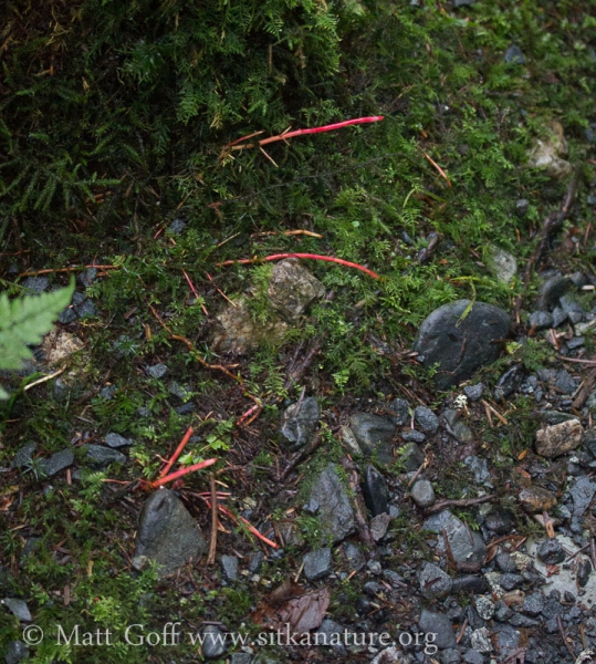 Red Alder (Alnus rubra) Red Roots