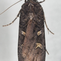 Black Army Cutworm (Actebia fennica)
