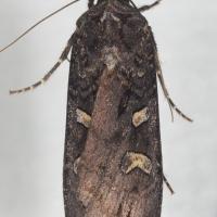 Black Army Cutworm (Actebia fennica)