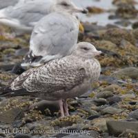 First Cycle Herring Gull