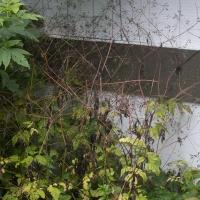 Sweet-ciceley (Osmorhiza sp)