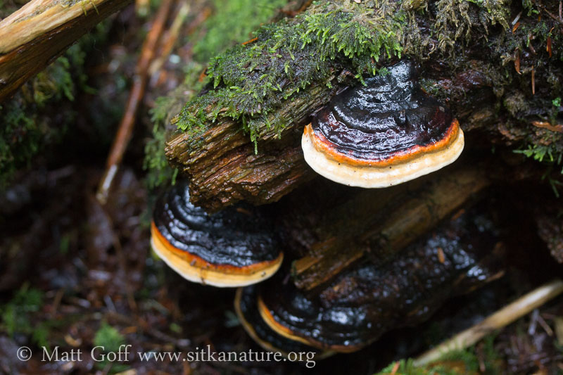 Red Banded Polypore (Fomitopsis pinicola)