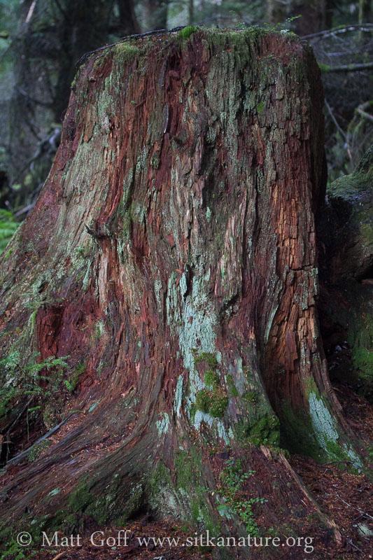 Rotting Stump