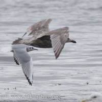 Immature Bonaparte's Gull