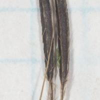 Sweet-ciceley (Osmorhiza sp) Fruit