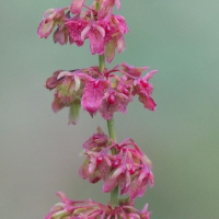 Broad-leaf Dock (Rumex obtusifolius) Flowers