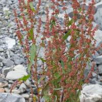 Broad-leaf Dock (Rumex obtusifolius)