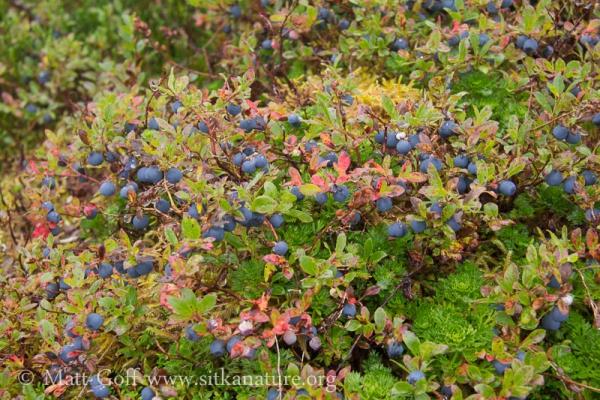 Blueberries in the Subalpine