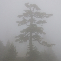 Mountain Hemlock in the Fog