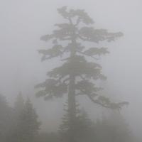 Mountain Hemlock in the Fog