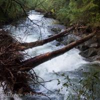 Alders in Stream